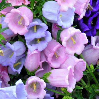 Колокольчик Хрустальный звон, смесь окрасок Premium Seeds изображение 2