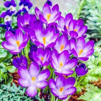 Крокус Руби Гиант изображение 8