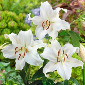 Лилия восточная Сантандер изображение 6