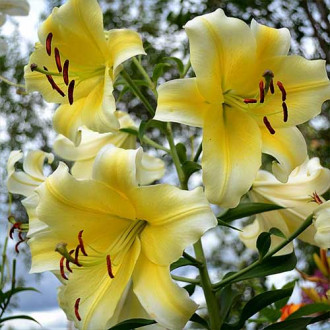 Лилия-дерево Манисса изображение 7