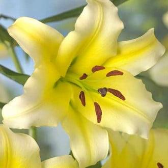 Лилия-дерево Серано изображение 5