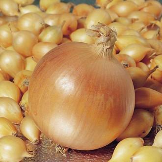 Лук репчатый Первогодка F1 Premium Seeds изображение 4