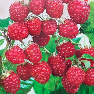 Малина Красная Рубин Седек изображение 4