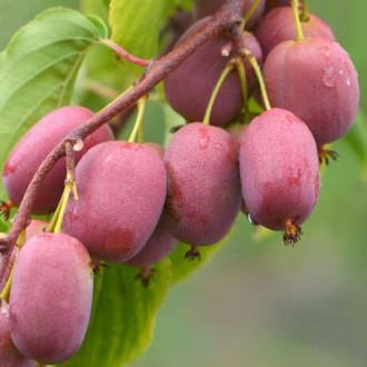 Мини-киви (актинидия) Пурпурная садовая изображение 7