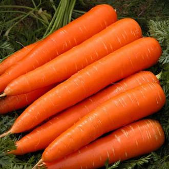 Морковь Гиганто Росса Уральский дачник изображение 7
