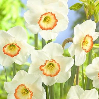 Нарцисс крупнокорончатый Барби Долл изображение 6