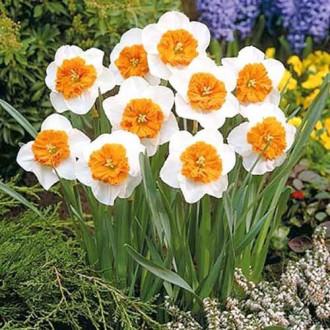 Нарцисс крупноцветковый Белла Виста изображение 6