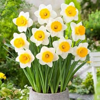 Нарцисс крупнокорончатый Биг Ган изображение 4