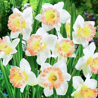 Нарцисс крупноцветковый Бритиш Гембл изображение 5
