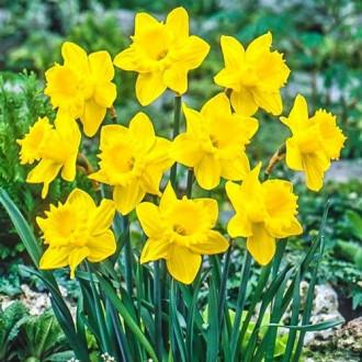 Нарцисс крупноцветковый Датч Мастер изображение 5