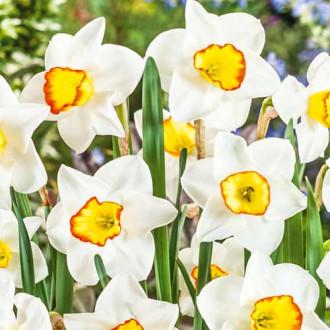 Нарцисс мелкокорончатый Гуз Грин изображение 3