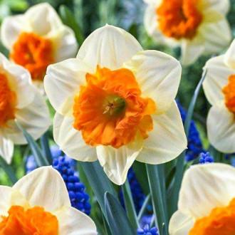 Нарцисс крупнокорончатый Балли изображение 4