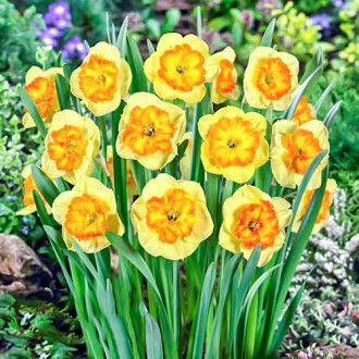 Нарцисс крупноцветковый Берлин изображение 6