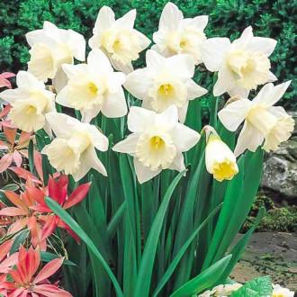 Нарцисс крупноцветковый Маунт Худ изображение 5