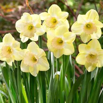 Нарцисс крупноцветковый Модуляция изображение 6