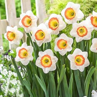 Нарцисс крупноцветковый Найт Кап изображение 8