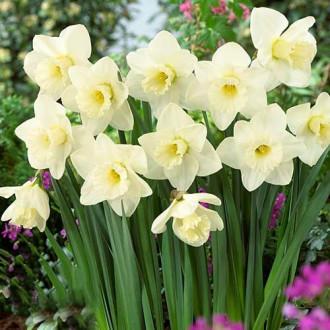 Нарцисс крупноцветковый Орегон Сноу изображение 4