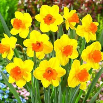 Нарцисс крупноцветковый Пимпернел изображение 6