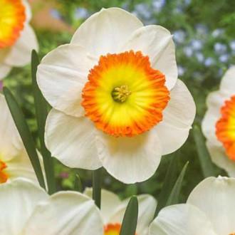 Нарцисс крупноцветковый Саунд изображение 7