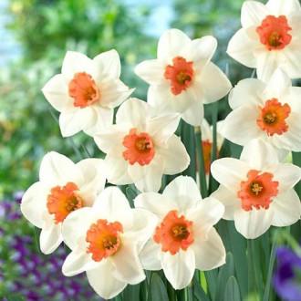 Нарцисс крупнокорончатый Кул Флейм изображение 8