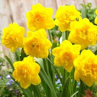 Нарцисс махровый Истертайд изображение 1