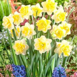 Нарцисс махровый Свит Помпонетт изображение 2