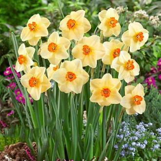 Нарцисс мелкокорончатый Альтруист изображение 3