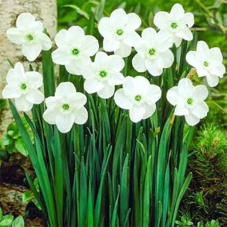 Нарцисс мелкокорончатый Грин Айд Леди изображение 1