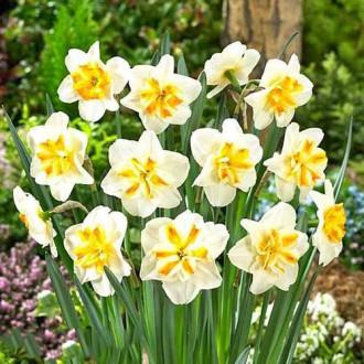Нарцисс мелкокорончатый Сорбет изображение 2