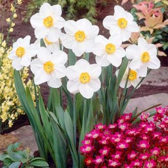 Нарцисс мелкокорончатый Вергер изображение 4