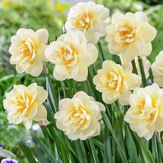 Нарцисс махровый Мэнли изображение 5
