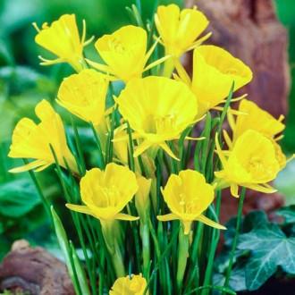 Нарцисс мини Голден Беллс изображение 2