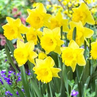 Нарцисс крупноцветковый Парк Сан изображение 1