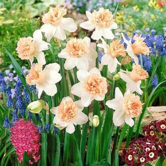 Нарцисс махровый Петит Фоу изображение 8