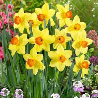 Нарцисс крупноцветковый Ред Девон изображение 2