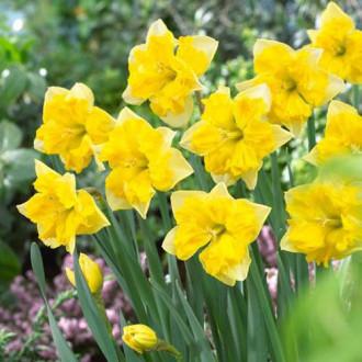 Нарцисс сплит-корона Шантерель изображение 1