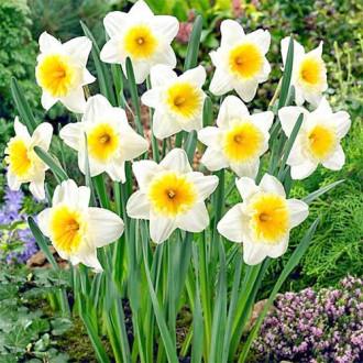 Нарцисс крупноцветковый Слим Витман изображение 8