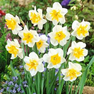 Нарцисс сплит-корона Сансет Серенад изображение 2
