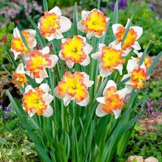 Нарцисс сплит-корона Таурус изображение 3
