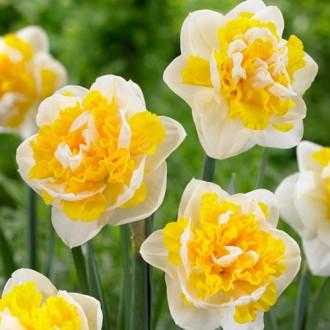 Нарцисс махровый Юник изображение 5