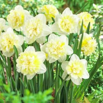 Нарцисс махровый Айс Кинг изображение 7