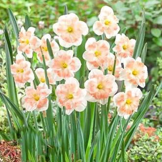 Нарцисс сплит-корона Пинк Вандер изображение 2