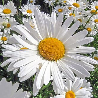 Нивяник Мечта садовника Premium Seeds изображение 2