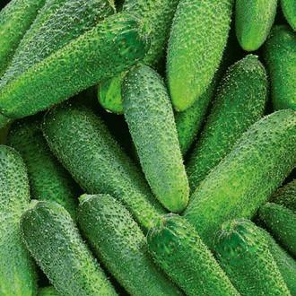 Огурец Ермолай F1 Premium Seeds изображение 3