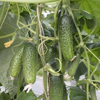 Огурец Семеро по лавкам F1 Premium Seeds изображение 3