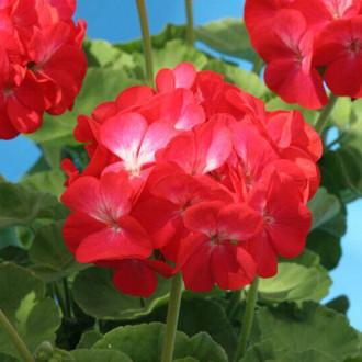 Пеларгония Венецианская роза F1 Premium Seeds изображение 8