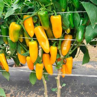 Перец сладкий Апельсин желтый Русский огород НК изображение 7
