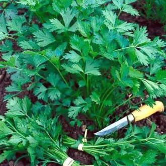 Петрушка листовая Титан Седек изображение 8