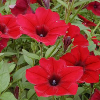 Петуния Красная шапочка F1 Premium Seeds изображение 7