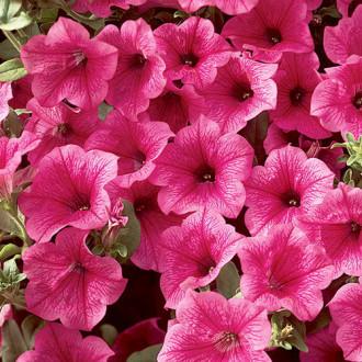 Петуния Лавина Пурпурная Королева F1 Premium Seeds изображение 7